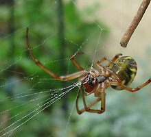Spider Working on its Web by Kim  Lambert