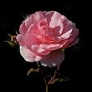In the Pink by ColinKemp