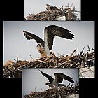 Osprey Mother and nest by KSKphotography