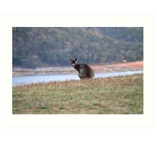 Curious Kangaroo at Wyangala Art Print