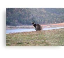 Curious Kangaroo at Wyangala Metal Print