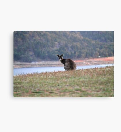 Curious Kangaroo at Wyangala Canvas Print