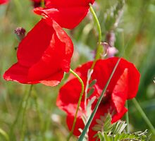 Three poppies blooming in France  by KSKphotography