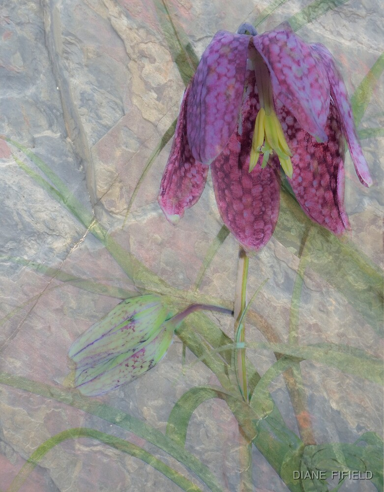 Fritillaria Snake's Head by DIANE  FIFIELD