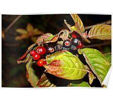 Ripening firebush berries Poster