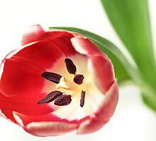 Confident Tulip... by Bob Daalder