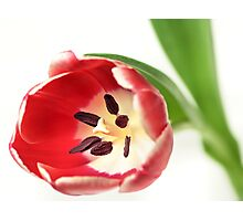 Confident Tulip... Photographic Print