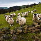 Sheep will eat your lunch, West Yorkshire by David Isaacson