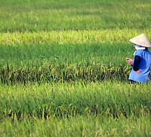 Vietnamese padi field and farmer. by Phil Bower