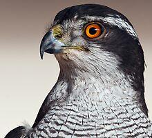 Northern Goshawk (Accipiter gentilis) by Steve  Liptrot