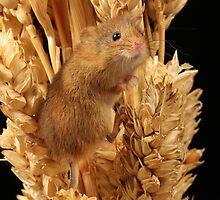 Harvest Mouse by neilborman