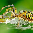 Wasp Spider by Thomas Splietker