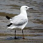 Young Silver Gull by cathywillett