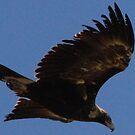 Wegde tail eagle  by Eunice Atkins