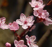 Sakura by silverfish