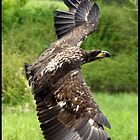 Hera, A Bald Eagle by Bryony Griffiths