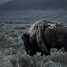 Yellowstone - Bison in the Storm by Kaitlin Kelly