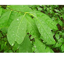 Morning Dew on Leaves Photographic Print