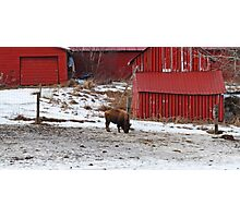 Barn Buffalo Photographic Print