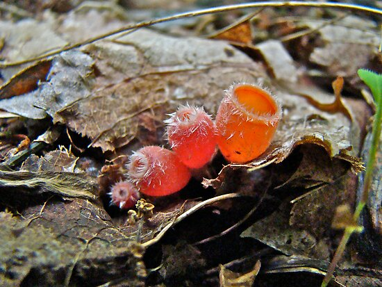 Shaggy Scarlet Cup Mushrooms -  Microstoma floccosa by MotherNature