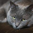 Gray Cat by evergleammm