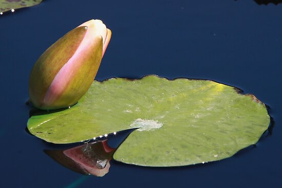 Butter Cream Water Lily Bud and Pad by Robert Armendariz