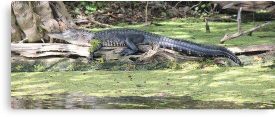 Lazy Gator by Bob Hardy