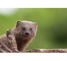 Mongoose Just Checking You Photographic Print