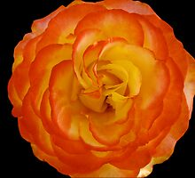 Apricot Yellow Rose on Black by Geoffrey Higges