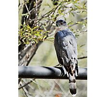 Coopers Hawk on Rale Photographic Print