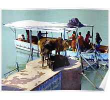 Cows waiting to board a boat in India. Poster
