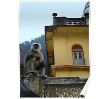 Baboon in India at the foot of the Himalayas. Poster