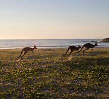 Kangaroos by Sarah Swenson
