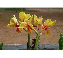 Yellow spotty canna lily Photographic Print