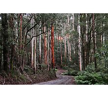 Towering Mountain Ash Photographic Print