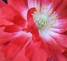 Poppy Power by Tracy Faught