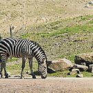 Zebra by Vac1