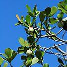 Figs by Glenn Cecero