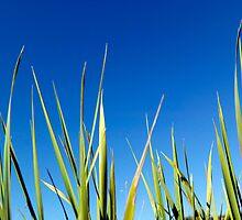 Blades of Grass against a clear blue summer sky by John Gaffen