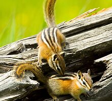 Chipmunks playing by Randy Giesbrecht