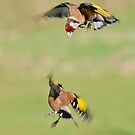 Goldfinches in flight by M.S. Photography/Art