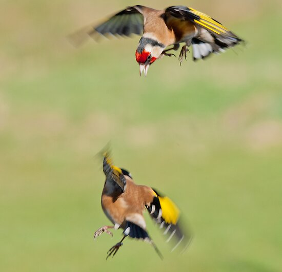 Goldfinches in flight by Margaret S Sweeny