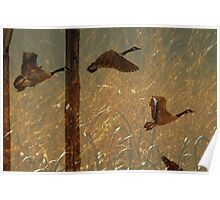 Sepia Geese In Flight Poster