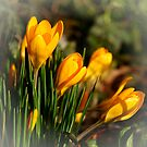 Crosus. Spring by Aase