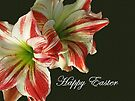 Happy Easter Red and White Amaryllis by MotherNature