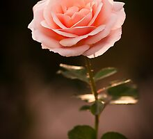 Pink Rose by BGSPhoto