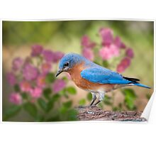 Bluebird in the Rose Garden Poster