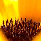 Eye of the Sunflower by Pamela O'Pecko