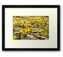 Selective focus on the yellow maple leaves on the lawn Framed Print