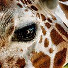 Giraffe by Kingstonshots